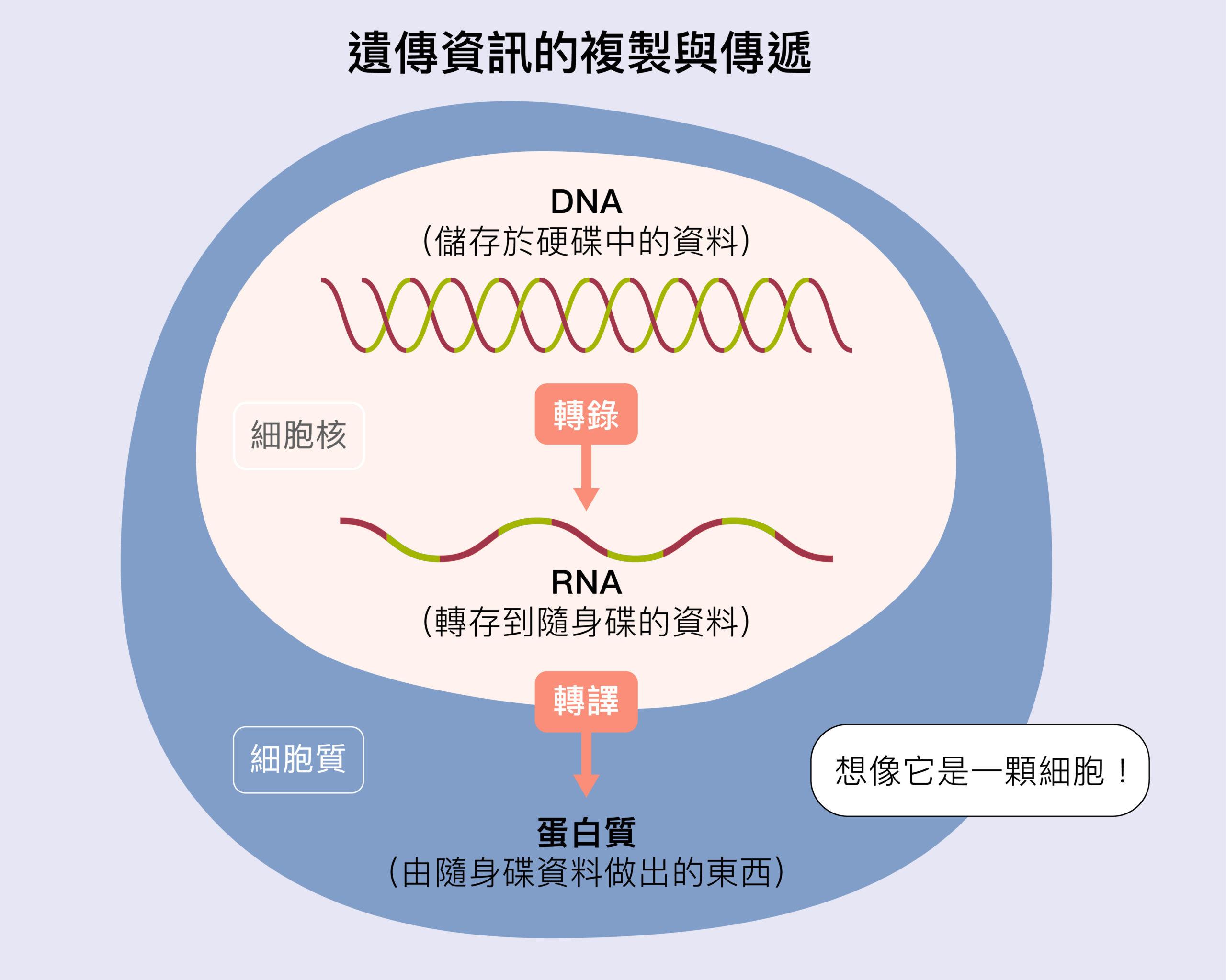 生物所有基因的資訊全部是在 DNA 上,好比身上的「硬碟」。細胞要使用這些資料時,必須把細胞核裡的 DNA 的資訊,轉錄成為 RNA—-好比用「隨身碟」把硬碟資料拷貝出來。接下來,RNA「隨身碟」的資訊進入細胞質,進行轉譯,製造各種蛋白質,好比把隨身碟內的資料列印成實體文件。圖│研之有物(資料來源│張典顯)