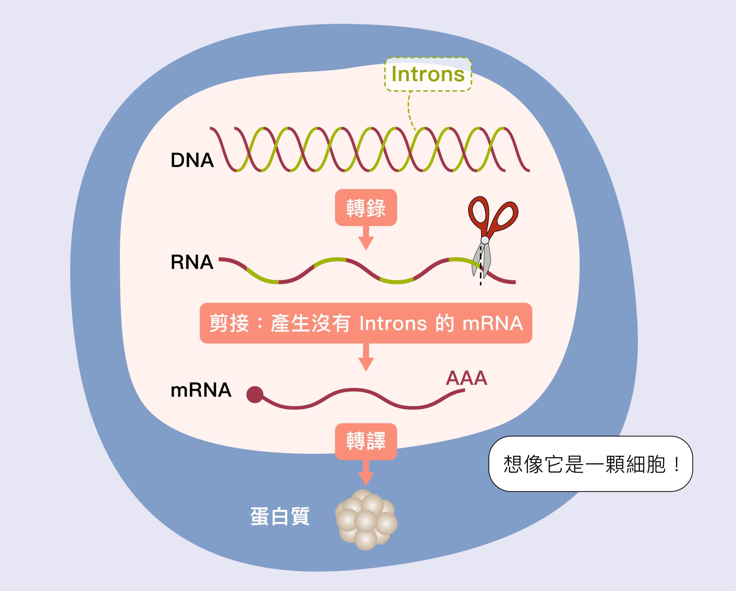 DNA 基因不是呈連續性的,中間穿插一些不需要的片段稱為內含子 (introns),轉錄後的 RNA 必須剪去中間不需要的部分,把有用片段接起來,變成信使 RNA (mRNA),細胞才能根據它製作蛋白質。圖│研之有物(資料來源│張典顯)
