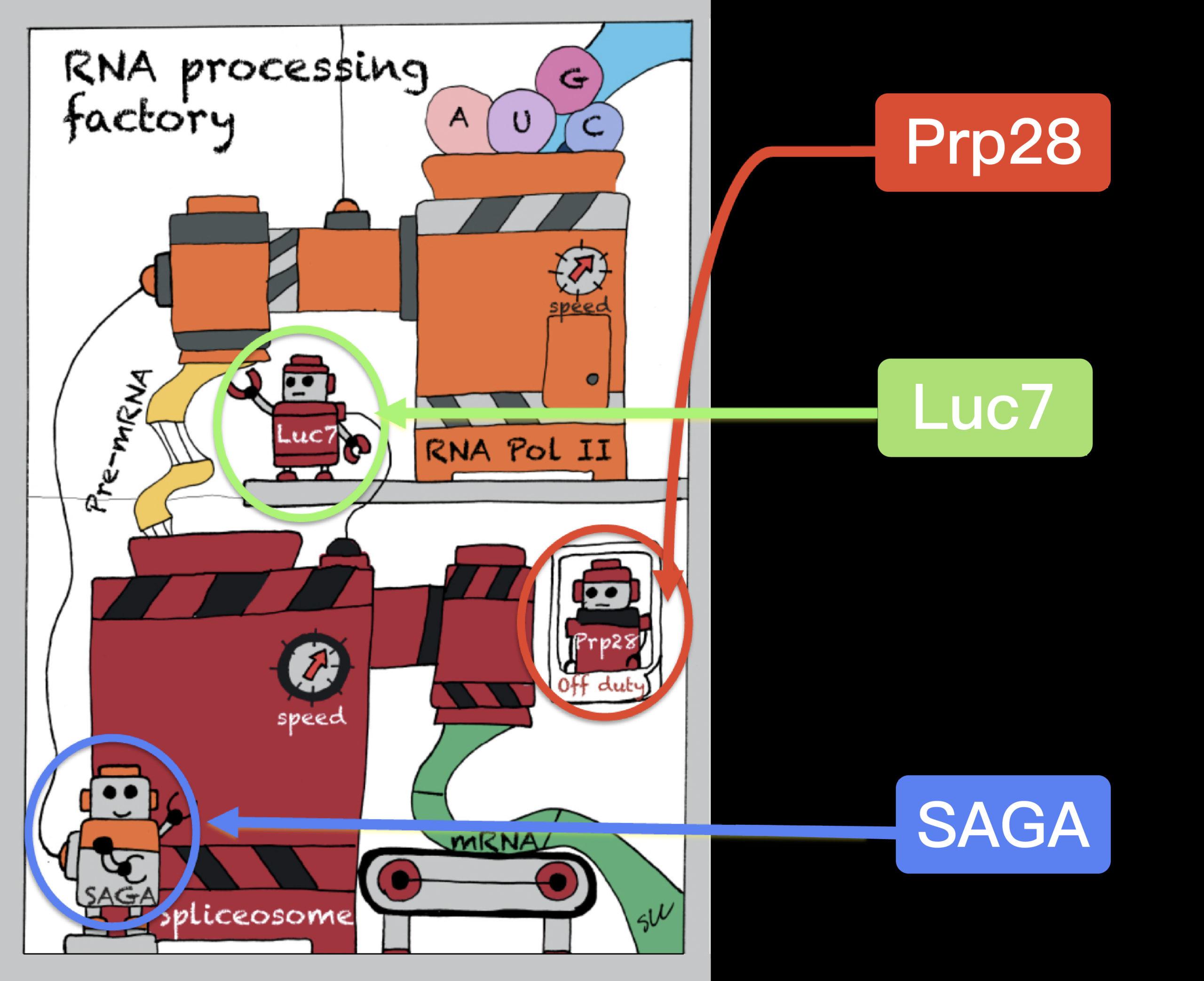 張典顯團隊用漫畫方式呈現酵母菌絕處逢生的秘訣:雖然細胞的剪接機慢了下來,但藉由演化讓上游轉錄機也減慢速度 (發生了另外的突變:蛋白質 Luc7 和 SAGA),於是上下游速度再度同步,使細胞恢復活力。圖│張典顯