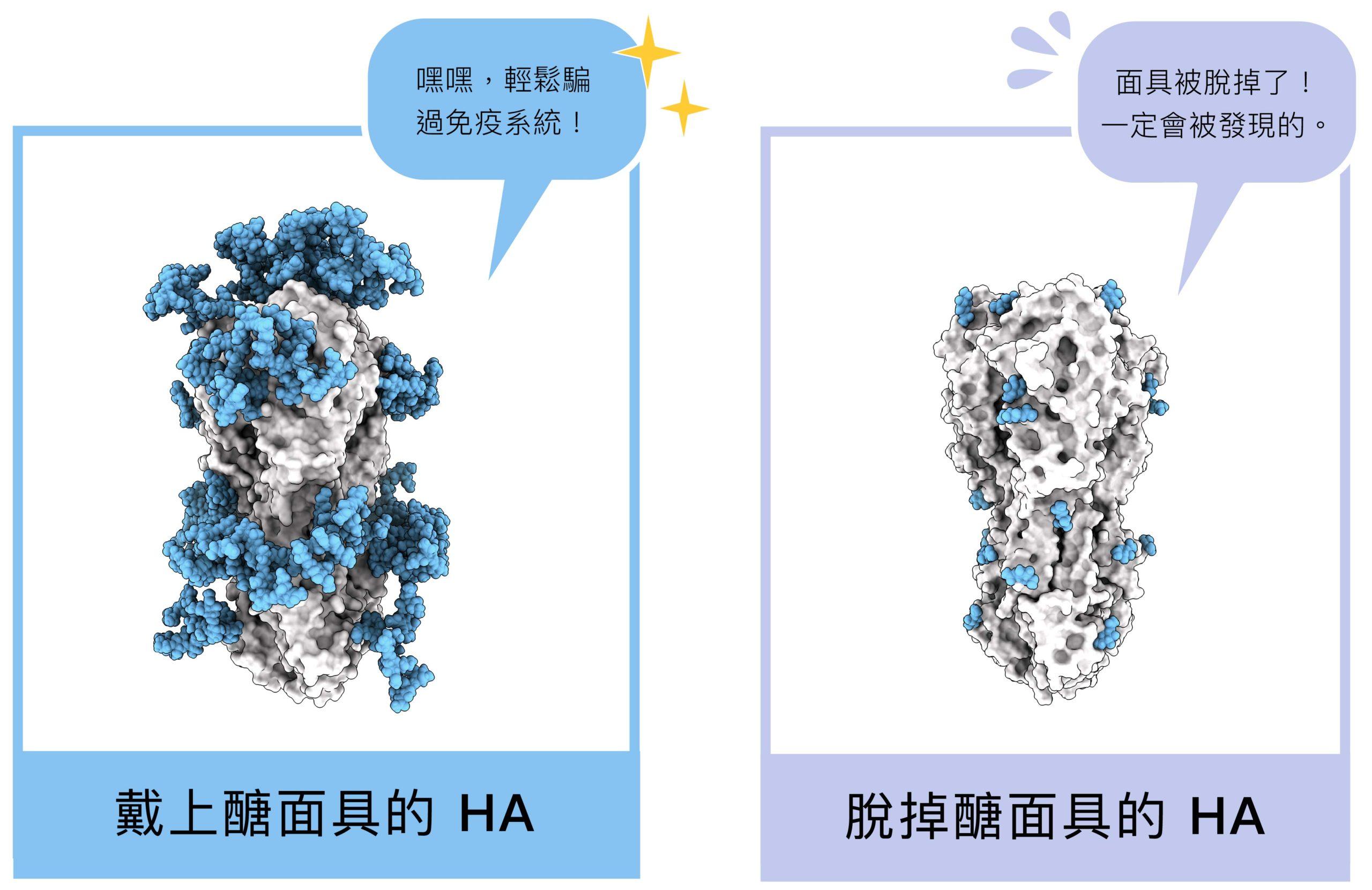 HA 醣蛋白結構,藍色部分即為醣面具,左圖為原本布滿醣分子的結構,右圖為研究員拿掉絕大多數醣分子後、還原 HA 的真面目。圖│研之有物 (資料來源│馬徹實驗室)
