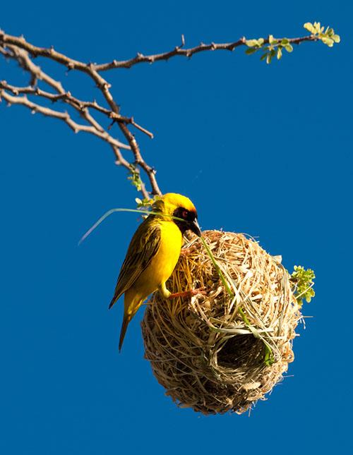 圖中為織巢鳥用嘴喙銜著並編織自己的懸吊式球狀鳥巢,鳥巢開口向下。全世界大多數鳥類都會築巢,鳥巢巢型主要可分為:無結構、平臺狀、杯碗狀、球狀、球狀加隧道,以及樹洞或土洞等洞巢。圖│iStock