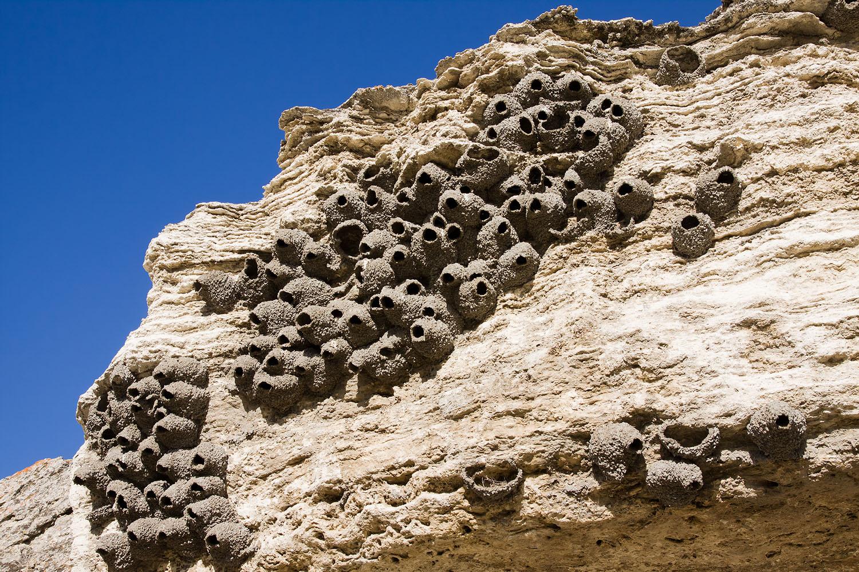 岩燕在岩壁上築起葫蘆狀的泥巢,天敵不容易捕食幼鳥。鳥類選擇築巢的位置,根據捕食壓力、種間或種內競爭可分為地上、樹上、非喬木植物、峭壁、河岸等等。圖│iStock