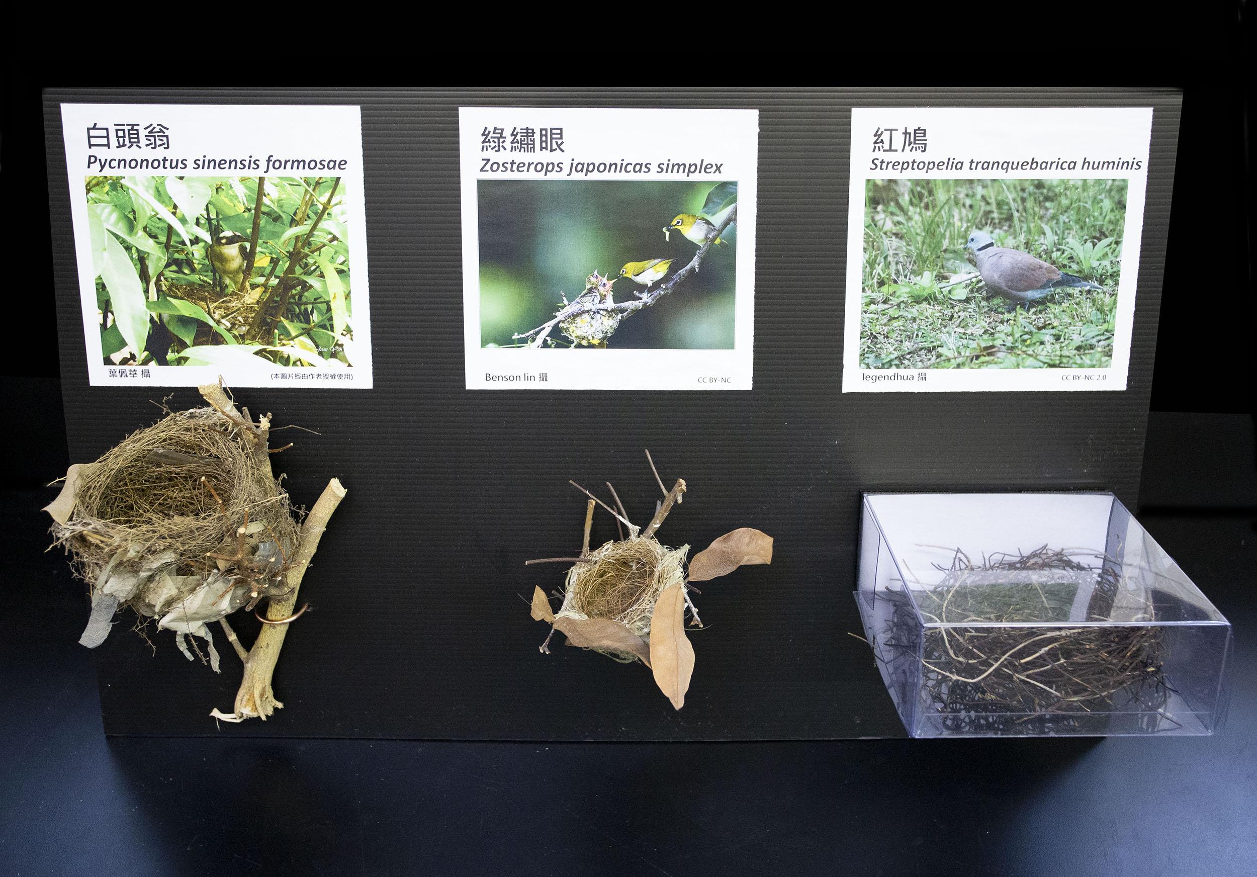 圖中白頭翁和紅鳩的鳥巢為底部支撐、綠繡眼的鳥巢為水平分叉固定。鳥巢的附著方式,主要分成底部支撐、水平分叉固定、側掛和垂吊四種,以底部支撐最常見。圖│研之有物
