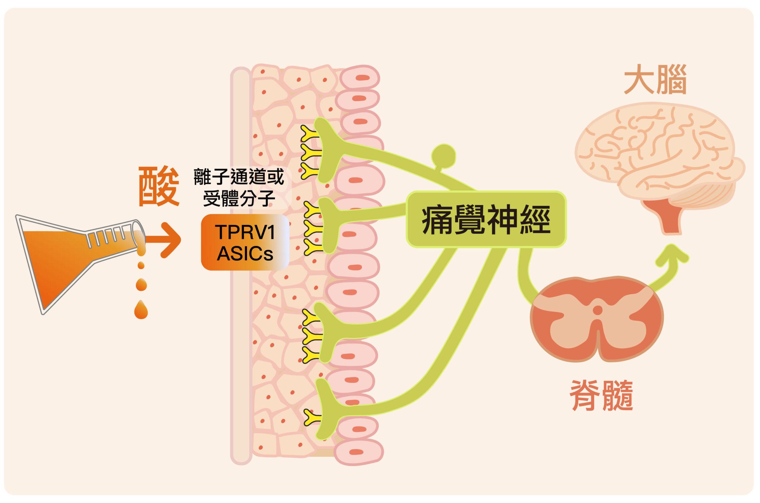 我們身上所有組織都有痛覺神經,上面有許多離子通道或是受體分子,分別對應不同來源的痛覺,其中可被酸激活的是酸敏性離子通道(ASICs)以及辣椒素受體蛋白(TRPV1)。圖|研之有物