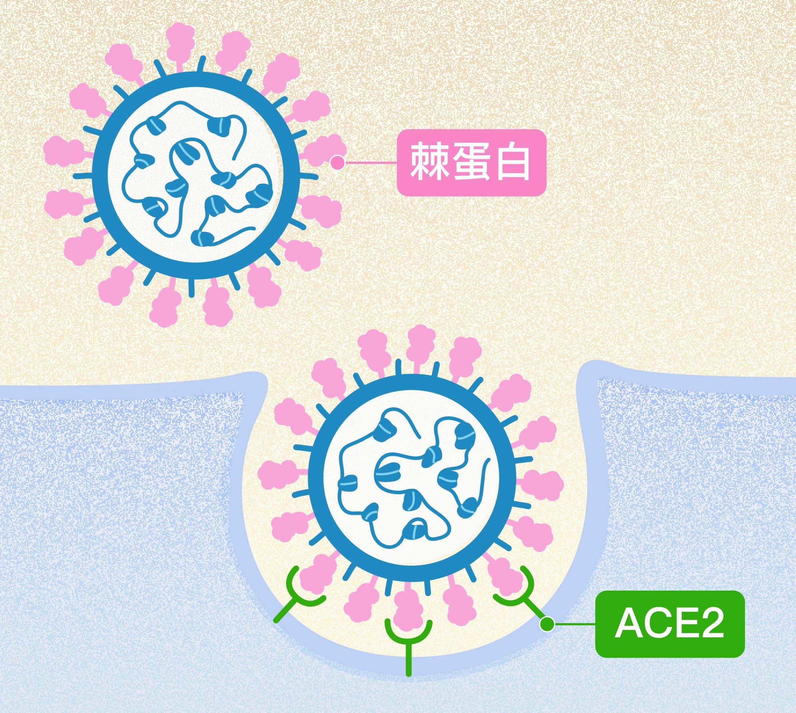 新冠病毒表面突起的棘蛋白(粉紅色突起),會與人體細胞表面受體 ACE2(綠色Y型)結合,藉此感染、進入細胞大量自我複製。圖│研之有物