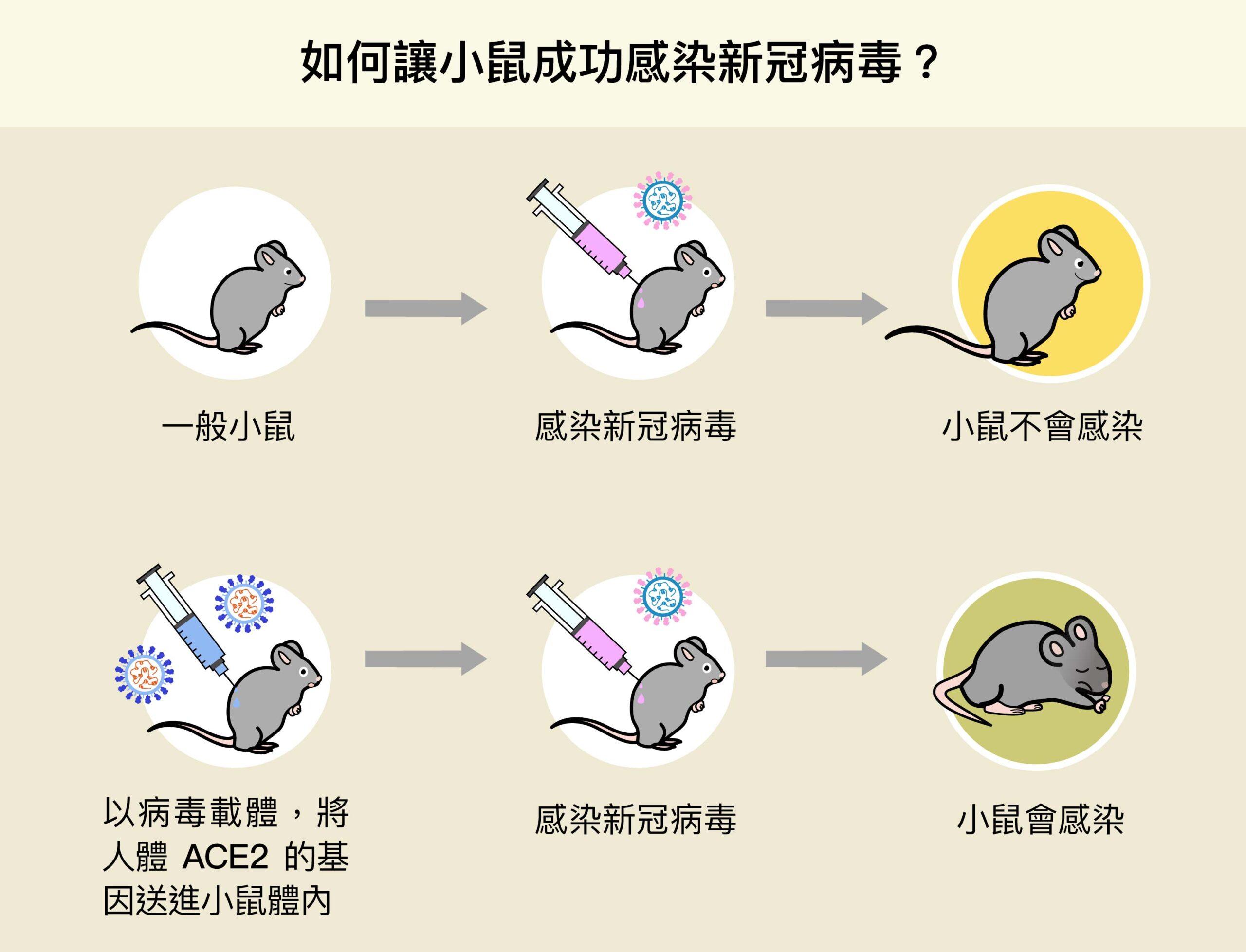 陶秘華研究員以病毒載體,將人體 ACE2 的基因送進小鼠體內,成功使小鼠細胞表現人類的 ACE2,變得可以感染新冠病毒,加速了動物攻毒實驗的進行。圖│研之有物