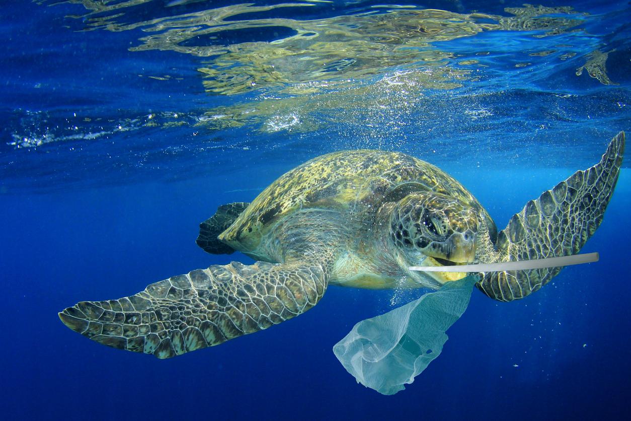 綠蠵龜以為塑膠袋是水母就一口吞下,但沒有味覺、無法分辨,沒辦法吐出,都累積在肚子裡。國立臺灣海洋大學的程一駿教授長期研究綠蠵龜,更發現死亡綠蠵龜肚子裡有各式各樣的垃圾。圖│iStock