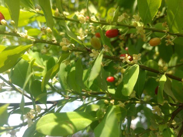 原產於南美洲的古柯樹。圖│Liseth Daniela Martinez Atehortua(CC BY-NC 4.0)