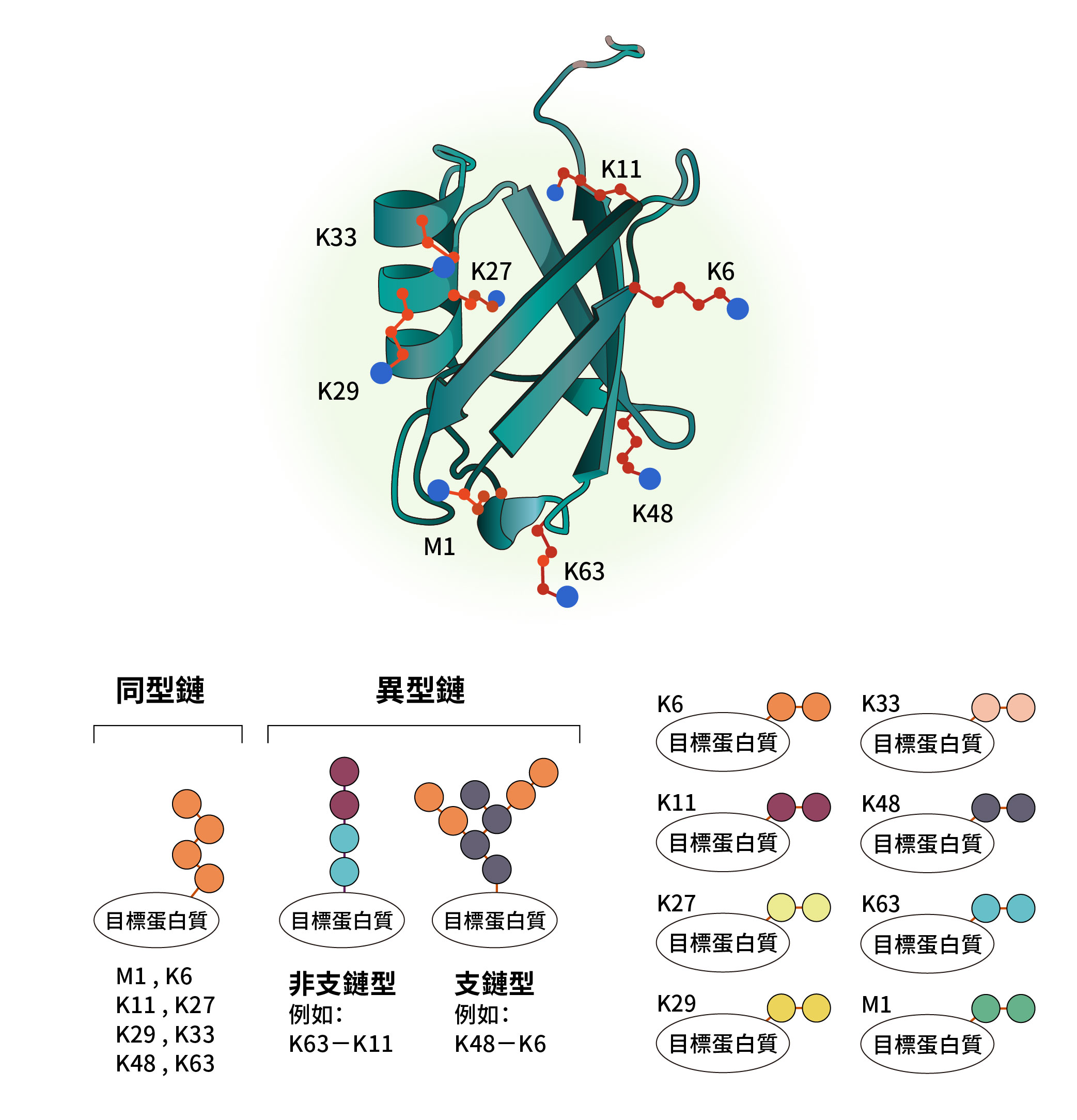 泛素接合蛋白質分子的各種複雜情況,陳瑞華關注的酵素之一是負責切除 K29 與 K48 分支的去泛素酶「TRABID」。圖│研之有物(資料來源│陳瑞華)