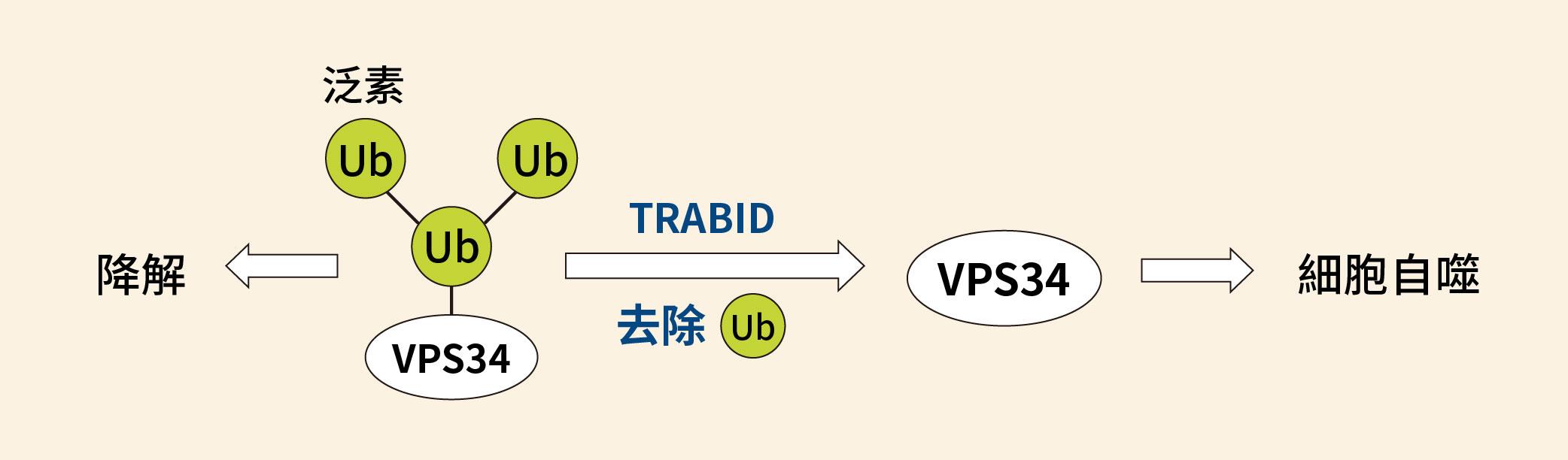 TRABID 可以去除 VPS34 上面的泛素分支(K29、K48),促進細胞自噬作用。圖│研之有物(資料來源│陳瑞華)