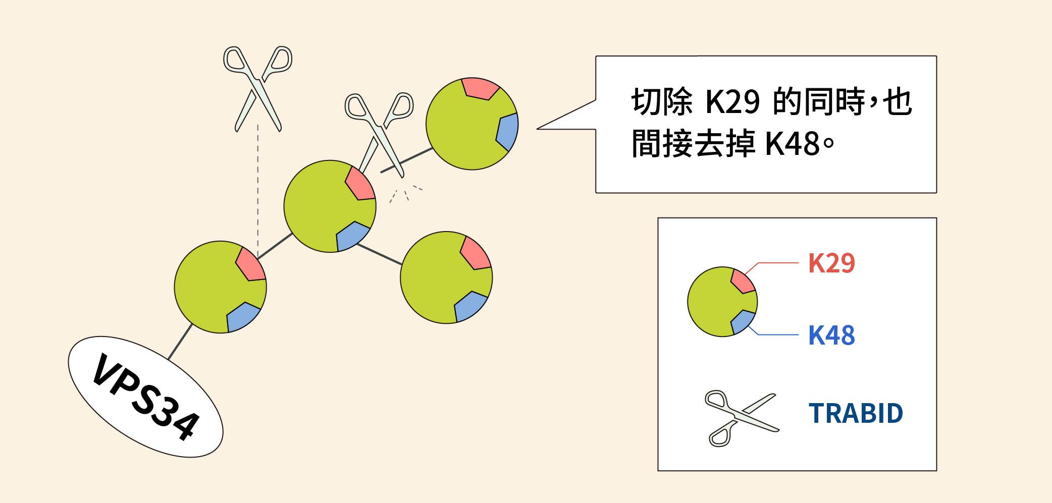 圖片為 TRABID 切除泛素分支的細節,原來是在切除 K29 的同時,也間接去掉 K48。圖│研之有物(資料來源│陳瑞華)