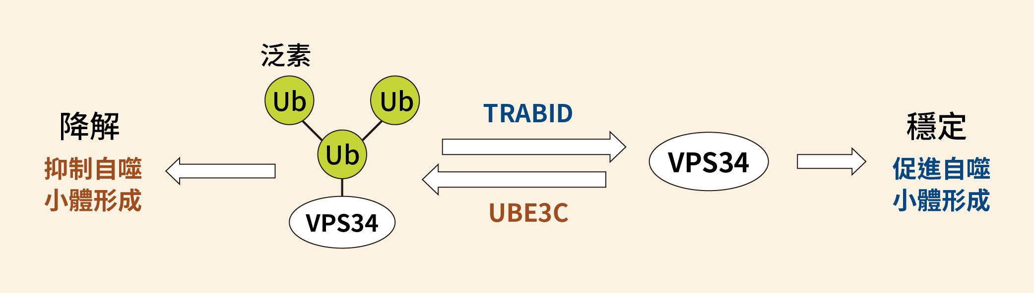TRABID 與 UBE3C 共同調控 VPS34 的示意圖,TRABID 會促進細胞自噬作用;反之,UBE3C 則會抑制細胞自噬。圖│研之有物(資料來源│陳瑞華)