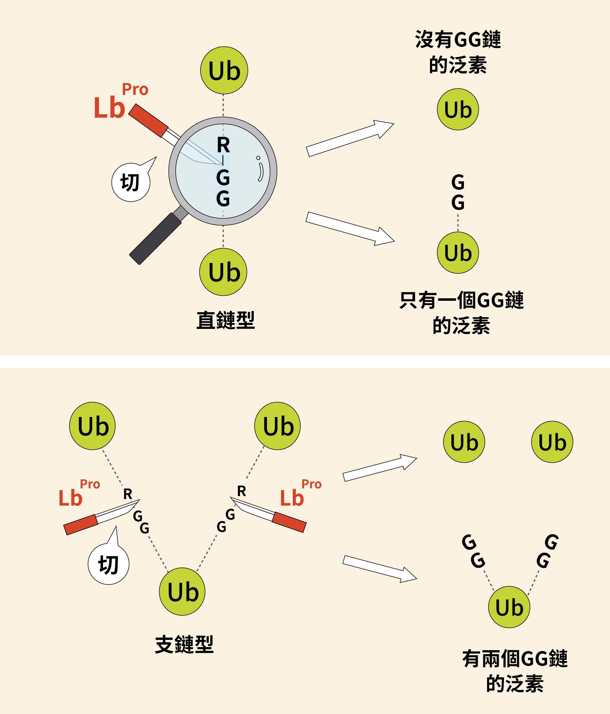 透過口蹄疫病毒的啟發,人工合成的蛋白酶 Lbpro 可以精準切割泛素之間的 R-GG 鏈結,讓研究人員得以透過質譜分析,輕易辨識出泛素的直鏈與支鏈結構及相對含量。圖│研之有物(資料來源│陳瑞華)