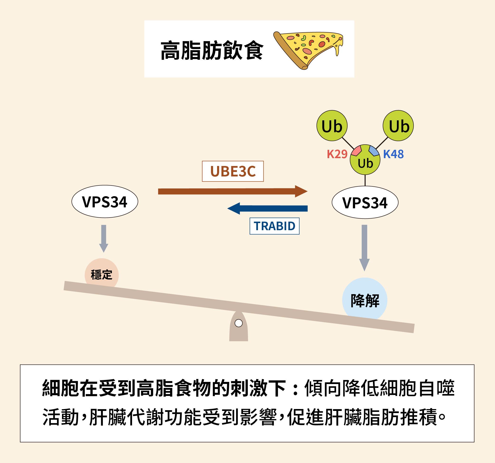 細胞在受到高脂食物的刺激下,傾向降低細胞自噬活動,VPS34 經過泛素化之後降解。肝臟代謝功能受到影響,促進肝臟脂肪推積。圖│研之有物(資料來源│陳瑞華)